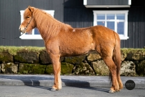 Icelandic horses for sale - Sylvía from Skálakot breeding farm