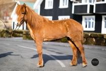 Icelandic horses for sale - Sylvía from Skálakot