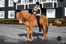 Sylvía frá Skálakoti - Icelandic horses for sale